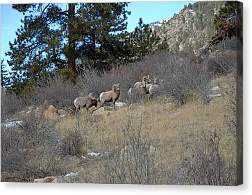 Bighorn Diners Canvas Print by Robert Meyers-Lussier