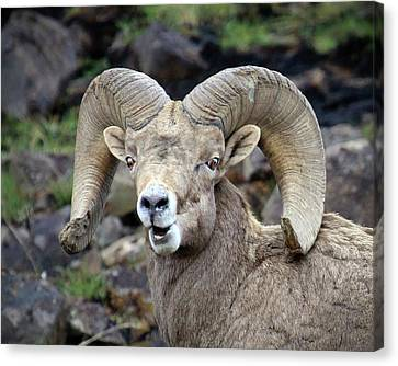 Canvas Print featuring the photograph Bighorn Giant by Steve McKinzie