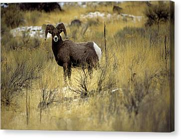 Bighorn Sheep (ovis Canadensis) Canvas Print by Altrendo Nature