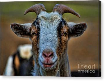Billy Goat Canvas Print by Paul Ward