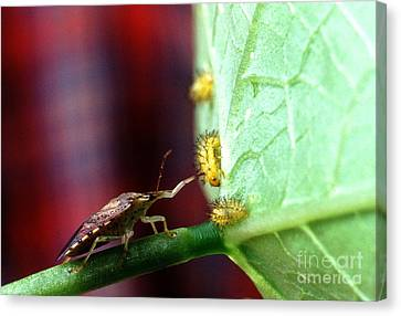 Biocontrol Of Bean Beetle Canvas Print by Science Source