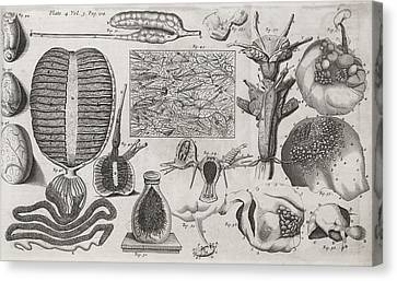 Biological Illustrations, 17th Century Canvas Print by Middle Temple Library