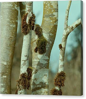 Birch Canvas Print by Bonnie Bruno