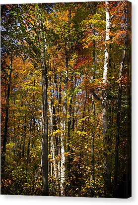 Birch Trail Canvas Print by Jo-Anne Gazo-McKim