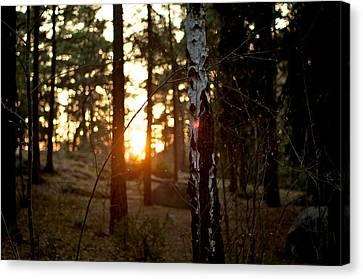 Birch Tree During Sun Dawn Canvas Print by Matthias Siewert