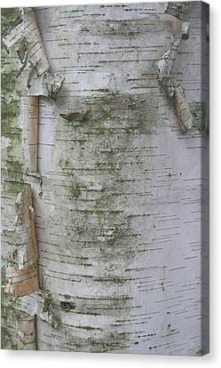 Birch Tree Canvas Print by Kathy Peltomaa Lewis