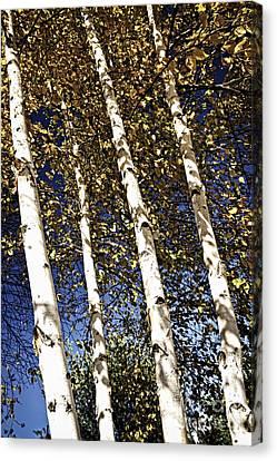 Birch Trees In Fall Canvas Print by Elena Elisseeva