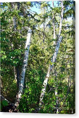 Canvas Print featuring the photograph Birch Trees by Jim Sauchyn