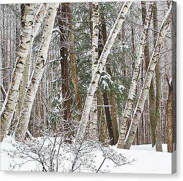 Birches Canvas Print by Mary McAvoy