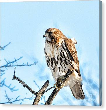 Bird - Red Tail Hawk - Endangered Animal Canvas Print by Paul Ward