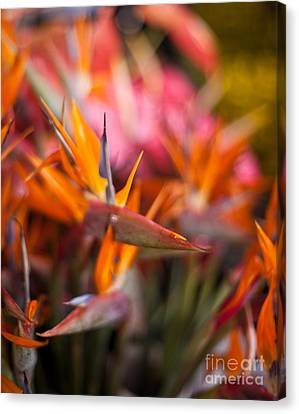 Bird Of Paradise Amongst Friends Canvas Print by Mike Reid