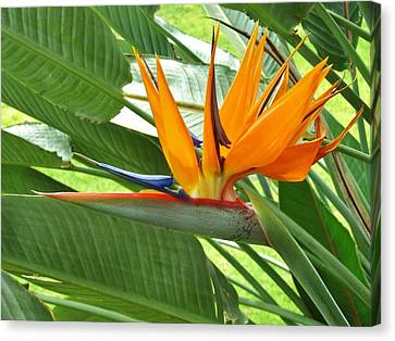 Canvas Print featuring the photograph Bird Of Paradise by Craig Wood