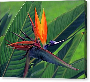 Canvas Print featuring the photograph Bird Of Paradise by Larry Nieland