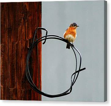 Bird On A Wire Canvas Print by Carrie OBrien Sibley
