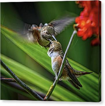 Birds Of Bc - No. 32 - Two Rufous Hummingbirds - Selasphorus Ruf Canvas Print by Paul W Sharpe Aka Wizard of Wonders