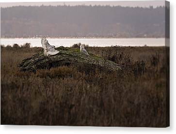 Birds Of Bc - No.15 - Snowy Owl - Bubo Scandiacus Canvas Print by Paul W Sharpe Aka Wizard of Wonders
