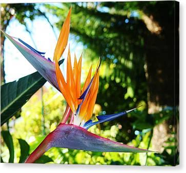 Birds Of Paradise In Tamborine Australia Canvas Print