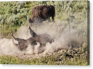 Bison Dust Bath Canvas Print by Paul Cannon