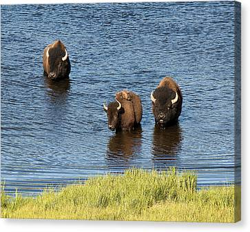 Bison Enjoying The Water Canvas Print by Paul Cannon