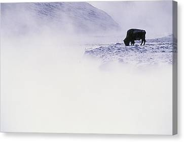 Bison Grazing In Winter Canvas Print by Bobby Model
