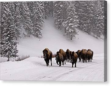 Bison In Winter Canvas Print by DBushue Photography