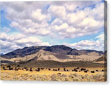 Canvas Print featuring the photograph Bison  by Kelly Reber