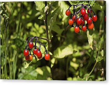 Bittersweet Berries (solanum Dulcamara) Canvas Print by Dr Keith Wheeler