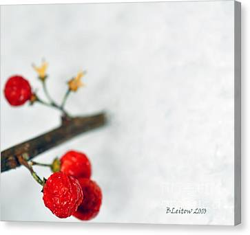 Bittersweet Canvas Print by Brenda Leitow