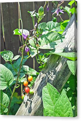 Bittersweet Nightshade - Solanum Dulcamara Canvas Print by Mother Nature