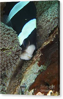 Black And White Anemone Fish Looking Canvas Print by Mathieu Meur