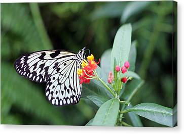 Black And White Butterfly  Canvas Print by Abiy Azene
