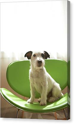 Black And White Terrier Dog Sitting On Green Chair By Window Canvas Print by Chris Amaral