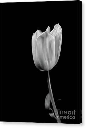 Black And White Tulip Canvas Print