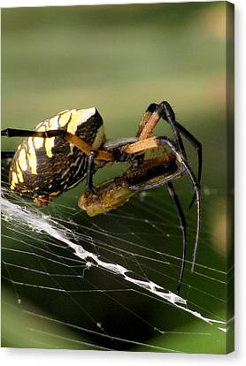 Black And Yellow Argiope Canvas Print by Charles Shedd