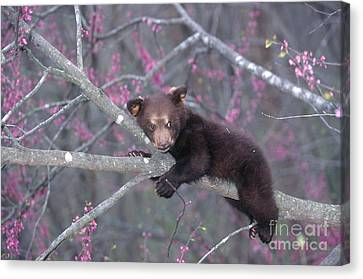 Black Bear Cub On Branch Canvas Print by Alan and Sandy Carey and Photo Researchers