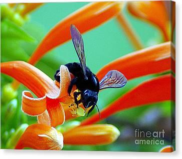 Black  Bumblebee  Canvas Print by John  Kolenberg