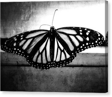 Black Butterfly Canvas Print by Julia Wilcox