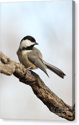 Canvas Print featuring the photograph Black-capped Chickadee by Jack R Brock