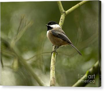 Black-capped Chickadee With Branch Bokeh Canvas Print