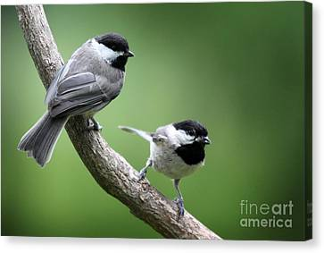 Canvas Print featuring the photograph Black-capped Chickadees by Jack R Brock