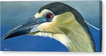 Black Capped Night Heron Canvas Print by Jon Ferrentino