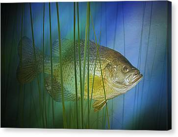Black Crappie Fish No.0155 Canvas Print by Randall Nyhof