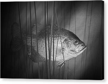 Black Crappie Or Speckled Bass Among The Reeds Canvas Print by Randall Nyhof