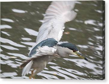 Canvas Print featuring the photograph Black Crowned  Night Heron by Amy Gallagher