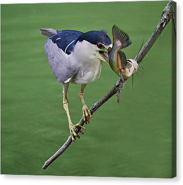 Black Crowned Night Heron With A Catfish Canvas Print by Paulette Thomas
