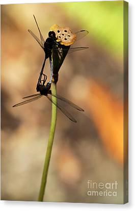 Black Dragonfly Love Canvas Print by Sabrina L Ryan