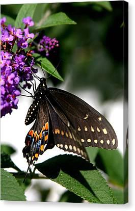 Black Eastern Swallowtail Canvas Print by Paula Tohline Calhoun