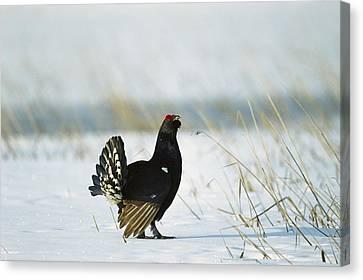 Black Grouse Tetrao Tetrix Canvas Print by Konrad Wothe