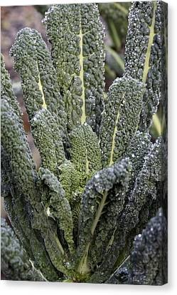 Black Kale (brassica 'nero De Toscana') Canvas Print by Maxine Adcock