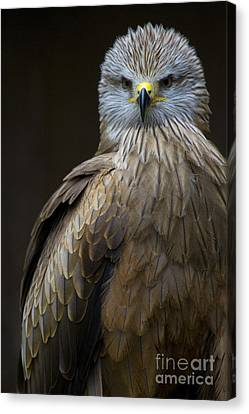 Black Kite 2 Canvas Print by Heiko Koehrer-Wagner